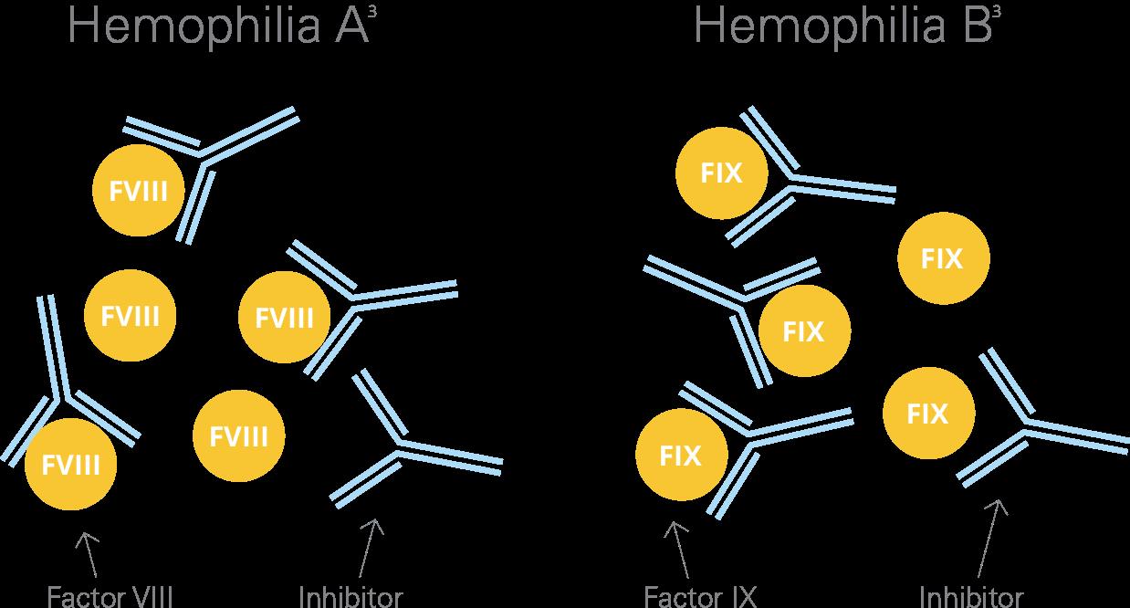 患有血友病A或B的人会产生抑制剂,从而阻止他们的VIII或IX因子治疗有效地形成凝块来止血